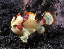 Juvenile clown frogfish, Lembeh by Doug Anderson