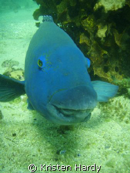 SMILE! an eastern blue groper. Manly, Sydney. Taken with ... by Kristen Hardy