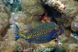 Colorfull box fish, Nikon D-70 by Larry Polster