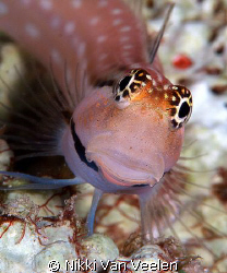 Blenny taken at Shark Observatory with E300 by Nikki Van Veelen