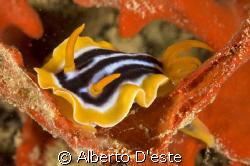 Nudibranch (Chromodoris) on the wreck of Umbria, the Ital... by Alberto D'este