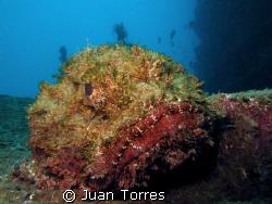 Scorpion Fish at the Sugar Pier in Aguadilla, PR. by Juan Torres