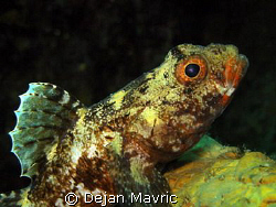 Red-mouthed goby, Fiesa. Olympus SP-350, ISO100, 1/250, f... by Dejan Mavric