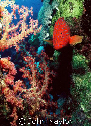 grouper and soft corals by John Naylor