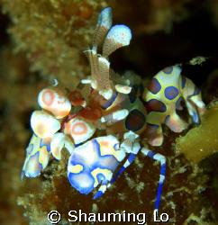 Harlequin Shrimp at Tingo by Shauming Lo