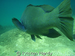 Eastern blue groper tail. Manly, Sydney. Olympus MJU 770 by Kristen Hardy