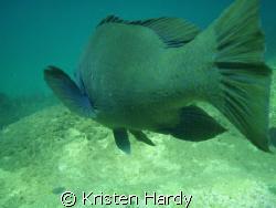 Eastern blue groper tail. Manly, Sydney. Olympus MJU 770 by Kristen Hardy