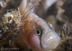 Butterfish. Menai Straits, N. Wales. Feb 08. 60mm. by Mark Thomas