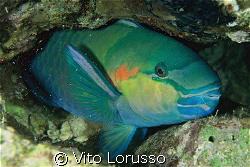 Fishs - Scarus ferrugineus by Vito Lorusso