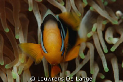 I know,I know-so many anemone fish photo's ,but look at t... by Louwrens De Lange
