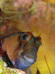 Crested Blenny (Parablennius lacticlavius)<><><><>Canon G... by Brian Mayes