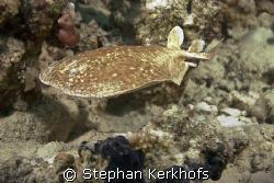 leopard torpedo ray (torpedo panthera) taken at Gordon re... by Stephan Kerkhofs