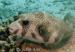 A puffer fish by Vidar Aas