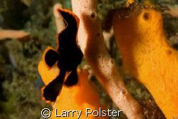 Juvy Pinnate Spade fish, Nikon D-70 by Larry Polster