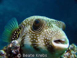Pufferfish , El Quadim , Red Sea , Egypt, Canon S70 with ... by Beate Krebs