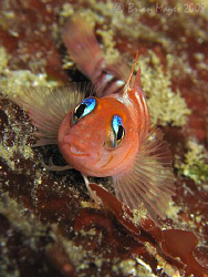 A cute looking Blue-Eyed Triplefin (Notoclinops segmentat... by Brian Mayes