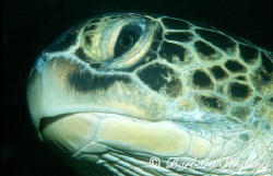 Portrait of a Green Turtle.  by Barbara Schilling