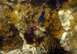 Blue Spotted hiding behind Sea Urchin by Glen Marier