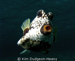 Trunkfish stalking me in Tobago Cays, just begging to hav... by Kim Dudgeon-Heany