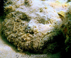 Stonefish sizing me up. Well camouflaged. by Andy Hamnett