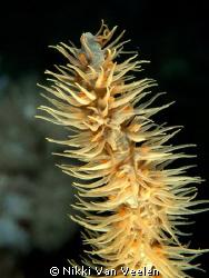 Whip coral close up taken at Ras Umm Sid. by Nikki Van Veelen