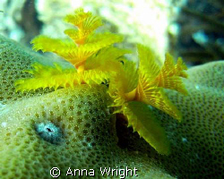Christmas Tree Worm taken with a Sea and Sea DX-1G Camera by Anna Wright