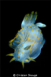 Another Polycera... this one was sitting on a dark kelp f... by Christian Skauge