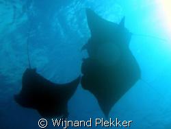 Manta Rays feeding in German Channel by Wijnand Plekker