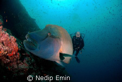 Diver with a huge Napoleon Wrasse by Nedip Emin