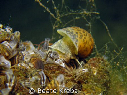 Freshwater snail , Canon S70 with Macro Lens  by Beate Krebs