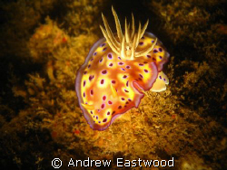 I spotted this beautiful chromodoris inside the lower par... by Andrew Eastwood