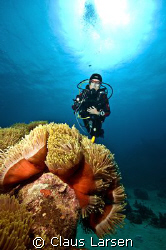 Diver and sea anemon  by Claus Larsen