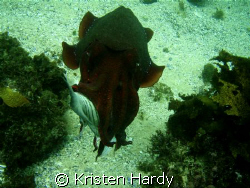its MY FISH! a massive cuttlefish feeding. Manly, Sydney. by Kristen Hardy