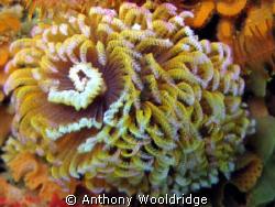 Fan worm taken at Scotsman's Reef in Port Elizabeth,ISO20... by Anthony Wooldridge