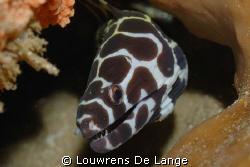 Baby Moray Eel by Louwrens De Lange