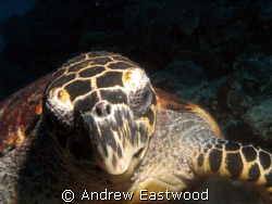 Hawksbill turtle on the Tubbataha reef admiring its own  ... by Andrew Eastwood