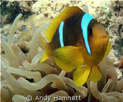 Clownfish, Safaga Egypt. by Andy Hamnett