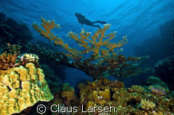 Diver over coral tree