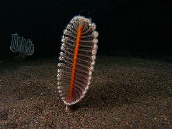 Sea Pen, Tulamben by Doug Anderson