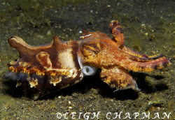 Flalmboyant cuttlefish. Lembeh. Nikon D200 by Leigh Chapman