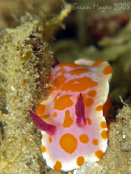 Clown Nudibranch (Ceratosoma amoena)<><><><>Canon G9, Ino... by Brian Mayes