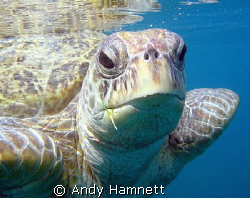 Morla, my favourite turtle by Andy Hamnett