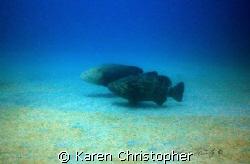 Goliath Grouper off Jupiter, Florida. The male grouper's ... by Karen Christopher