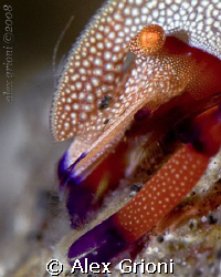 Emperor shrimp (Lembeh) by Alex Grioni