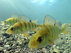A Lucky shot made in a Swiss Lake of this 3 very curious ... by Michel Lonfat