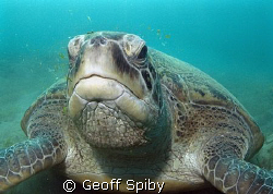 grumpy looking green turtle that has been disturbed mid m... by Geoff Spiby