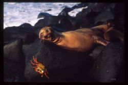 Sea Lion and Sally lightfoot crab, Galapagos F4 20-35mm by Stan Bysshe