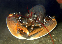 The most strongest looking lobster i have ever seen... by Bora Arda
