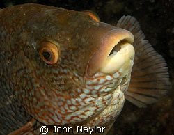 Ballan wrasse.St.Abbs marine reserve Scotland.Nikon D200 ... by John Naylor