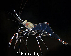 """Transparent Prawn"" you can even recognize the inner orga... by Henry Jager"